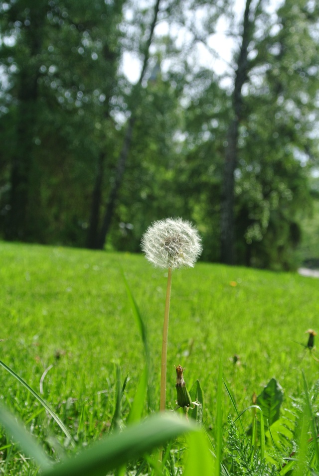 Dandelion puff-balls also make me feel nostalgic. My cousins in NC and I would blow on these during our childhood summers.
